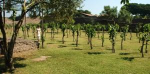 pompeii vineyard